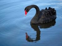 Los cisnes negros, ese imprevisto que nadie quiere ni ver